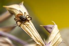 Деревянное тикание (Ixodidae) Стоковые Фотографии RF
