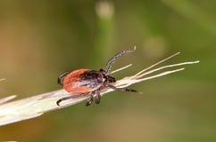Деревянное тикание (Ixodidae) Стоковые Изображения RF