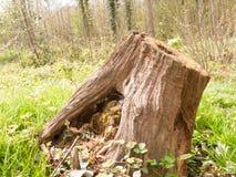 Деревянное Stumo дерева на поле леса Стоковая Фотография