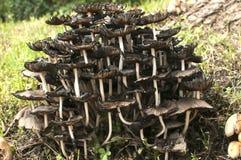Деревянные группы грибков гриба Стоковое Фото