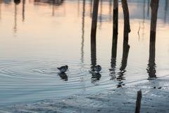 Деревянные поляки и птицы на заходе солнца: Отражение в воде Стоковое Фото