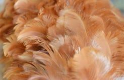Деревянные текстура и предпосылка пера цыпленка пыли Стоковые Изображения RF