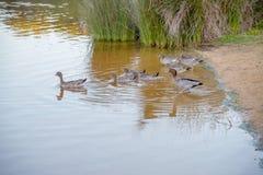 Деревянные утки идут поплавать Стоковая Фотография