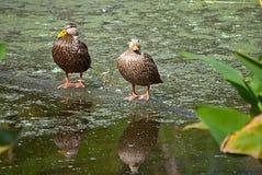 Деревянные утки Стоковое Фото