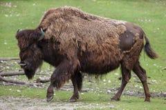 Деревянные athabascae бизона бизона бизона Стоковая Фотография RF