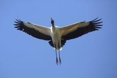 Деревянный аист летая сразу наверху в центральную Флориду Стоковые Фотографии RF