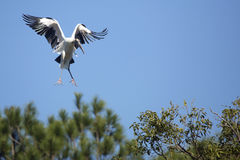 Деревянный аист приходя внутри для посадки в центральной Флориде Стоковые Изображения RF