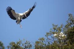 Деревянный аист приходя внутри для посадки в центральной Флориде Стоковое фото RF