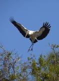 Деревянный аист приходя внутри для посадки в центральной Флориде Стоковое Изображение