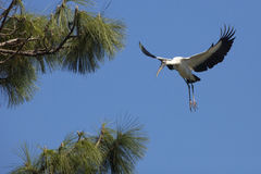 Деревянный аист приходя внутри для посадки в центральной Флориде Стоковое Фото