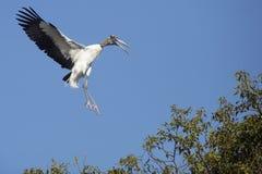 Деревянный аист приходя внутри для посадки в центральной Флориде Стоковая Фотография RF