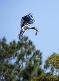 Деревянный аист приходя внутри для посадки в центральной Флориде Стоковые Фото