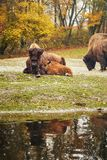 Деревянный бизон Стоковая Фотография