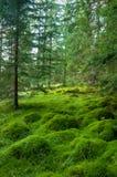 Деревянный глубокий мох в мхе зеленого цвета леса в Карпатах стоковые изображения