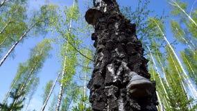 Деревянный гриб Оно паразитный на березе акции видеоматериалы