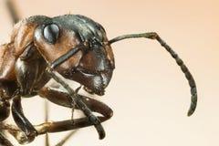 Деревянный муравей, муравей, муравьи, rufa Formica Стоковая Фотография RF