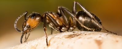 Деревянный муравей, муравей, муравьи, rufa Formica Стоковые Фото