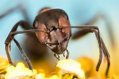 Деревянный муравей, муравей, муравьи, rufa Formica Стоковое Изображение RF