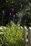 Деревянный обнесите забором заводы сада и лаванды стоковое фото rf