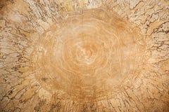 Деревянный Пила березы конца-вверх большая отрезала с красивым естественным patt Стоковая Фотография RF