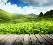 Деревянный пол на гористых местностях Камерона плантации чая Стоковые Изображения