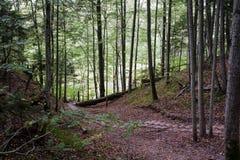 Деревянный путь лестницы вниз в высокорослом лесе сосны Стоковые Изображения