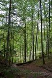 Деревянный путь лестницы вниз в высокорослом лесе сосны Стоковая Фотография RF