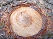 Деревянный спрус предпосылки Стоковые Изображения RF