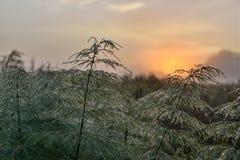 Деревянный horsetail Стоковые Изображения