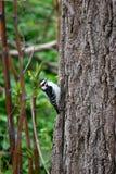 Деревянный Pecker в Oakville Стоковое Изображение RF