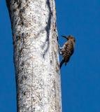 Деревянный Pecker стоковое фото rf
