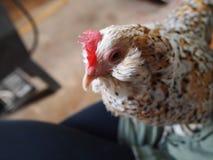 Держать конец цыпленка вверх Стоковая Фотография RF