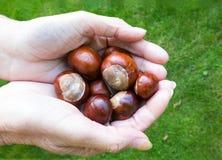 Держать некоторые плоды конского каштана Стоковые Изображения RF