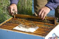 держать пчелы Стоковые Фотографии RF