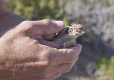 держать роговую жабу Стоковое Изображение