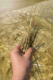 Держать сено перед связкой соломы Стоковое Фото