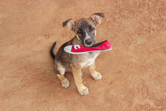 Держащ собаку обувает владения страницы коричневый цвет красной розы тонизирует Стоковое Изображение RF