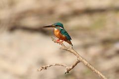 Держите молчаливый, общий Kingfisher, острый луч и глаза, более быстро стоковое изображение rf