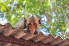 Дерзкая обезьяна Стоковая Фотография
