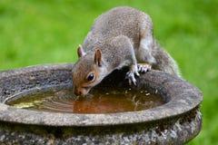Дерзкая серая белка занимает ванна птицы для питья Стоковая Фотография