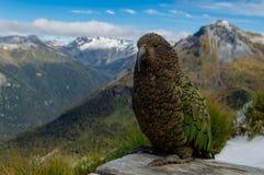Дерзкий попугай Kea перед горной цепью; След Kepler, Новая Зеландия стоковая фотография
