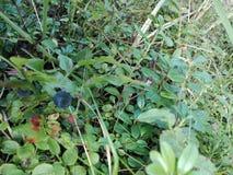 Десерт еды природы леса ягоды голубики Стоковое Изображение RF