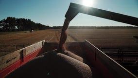 Детализированный взгляд устойчивого потока пшеницы зерен направил через руку расширения комбайна в контейнер тележки