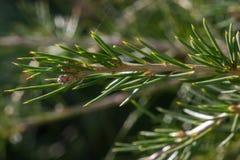 Детализированный захват хворостин кедра libani Cedrus дерева Ливана, stenocoma подвида, в саде стоковое изображение rf