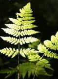 детализирует зеленый цвет папоротника Стоковые Фото