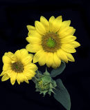 детализирует солнцецвет стоковое фото rf