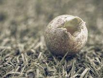 Детализируйте взгляд в сломленное одичалое яичко в траве Малая коричневая раковина голубого зеленого цвета Стоковое Фото