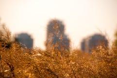 Детализируйте взгляд камышовых колосков против зданий города Стоковая Фотография RF