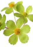 детализируйте зеленый цвет цветка Стоковые Изображения RF