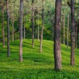 детализируйте чай сада Стоковые Изображения RF